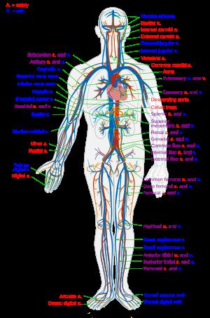 carotis artéria és magas vérnyomás)