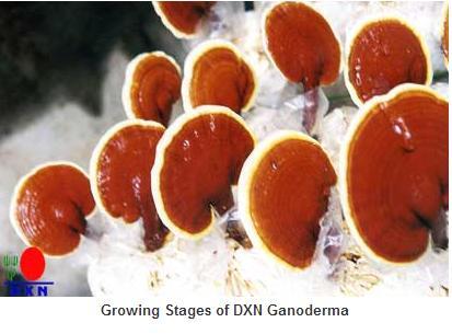 Ganoderma (pecsétviaszgomba) ampulla (10x10ml) - Vérnyomás