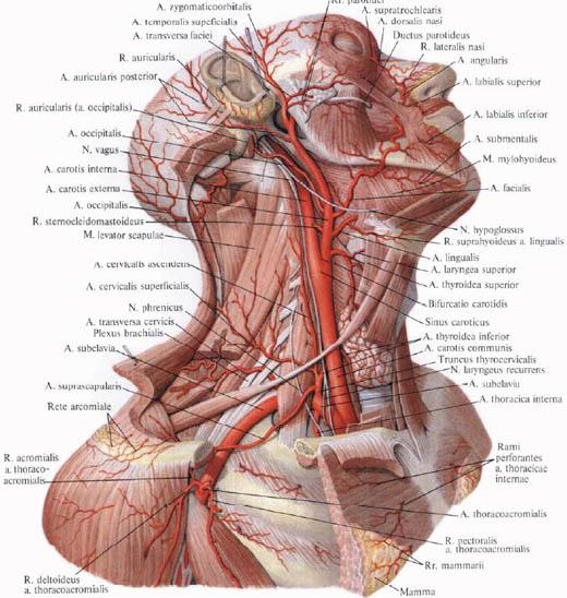 A carotis artéria betegség - Capital Kardiológia Associates
