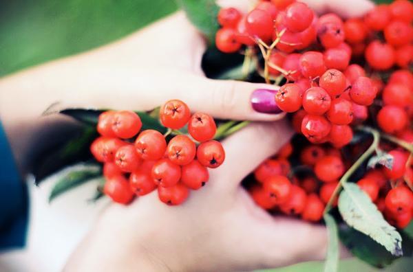 a vörös hegyi kőris magas vérnyomás elleni gyógyászati tulajdonságai)