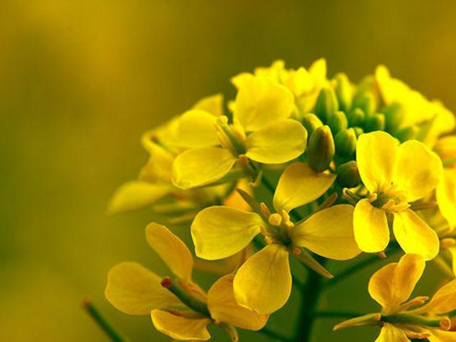 A mustár előnyei a magas vérnyomás esetén, A mustár előnyei és kárai az emberi testre - Édesség